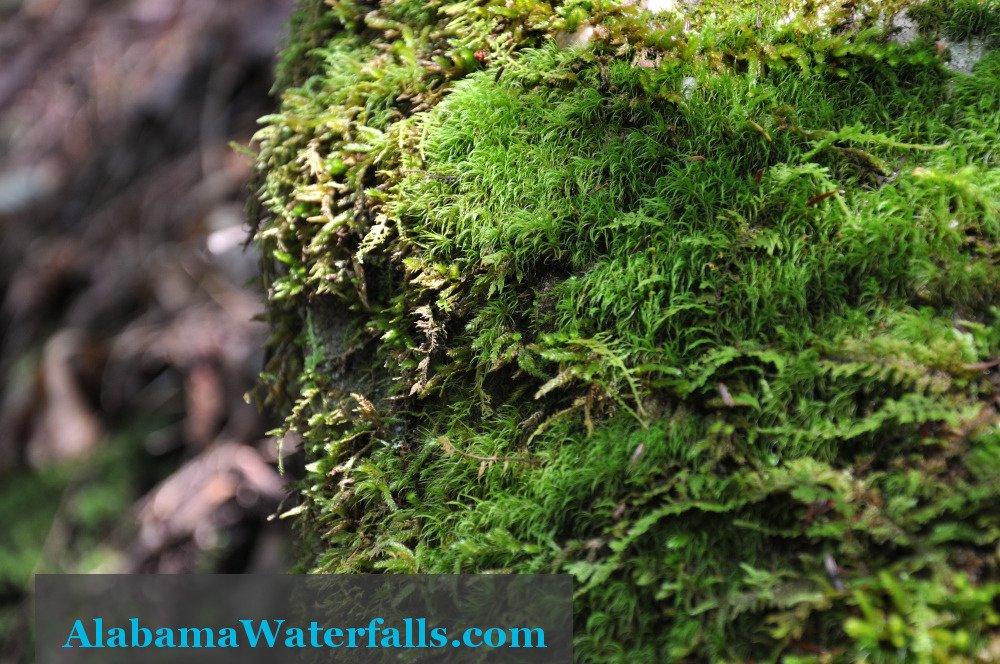 Caney Creek Falls Moss