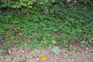 Poison Ivy on the way to Caney Creek Falls